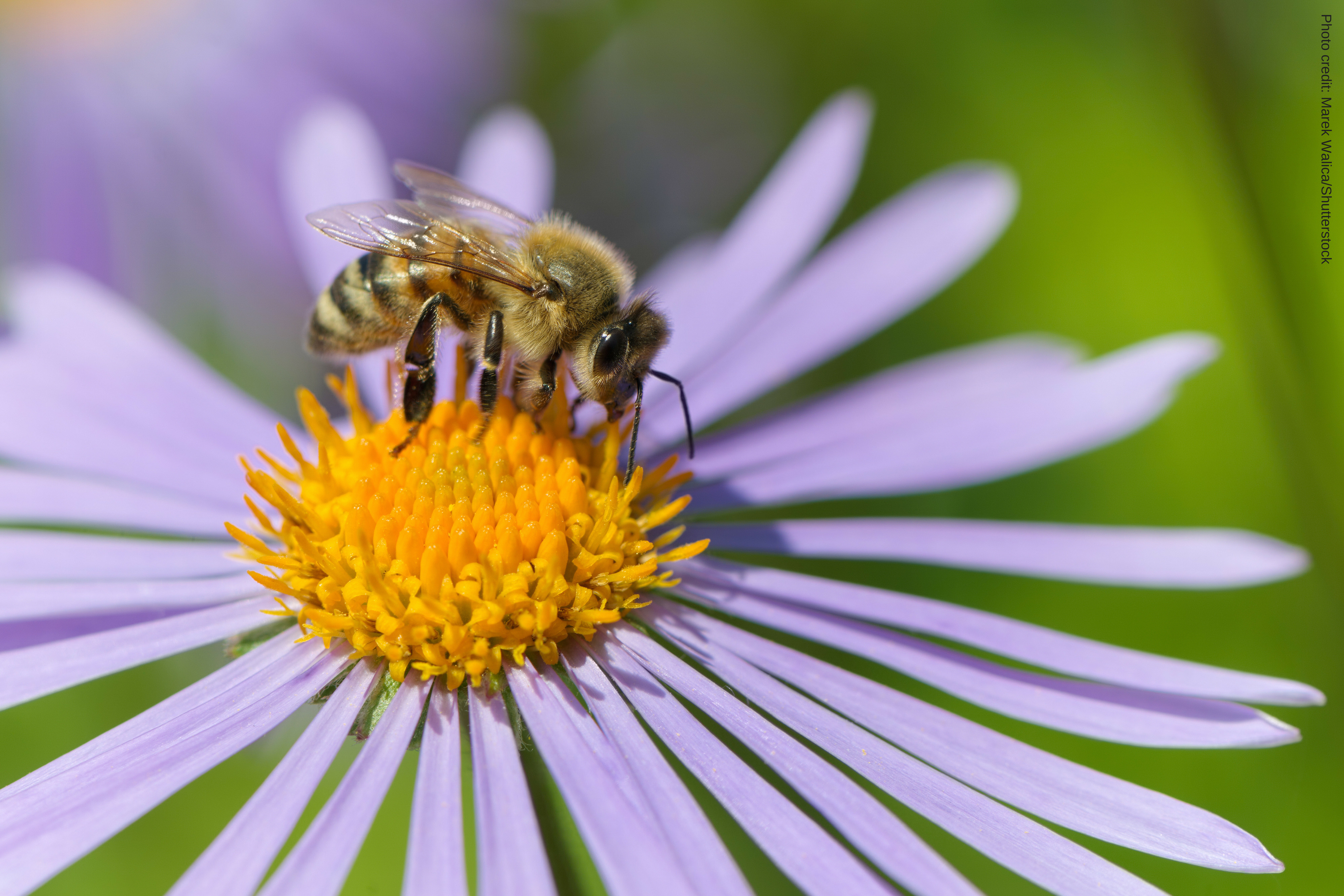 States Can Give Bees A Safe Place To Exist | CALPIRG
