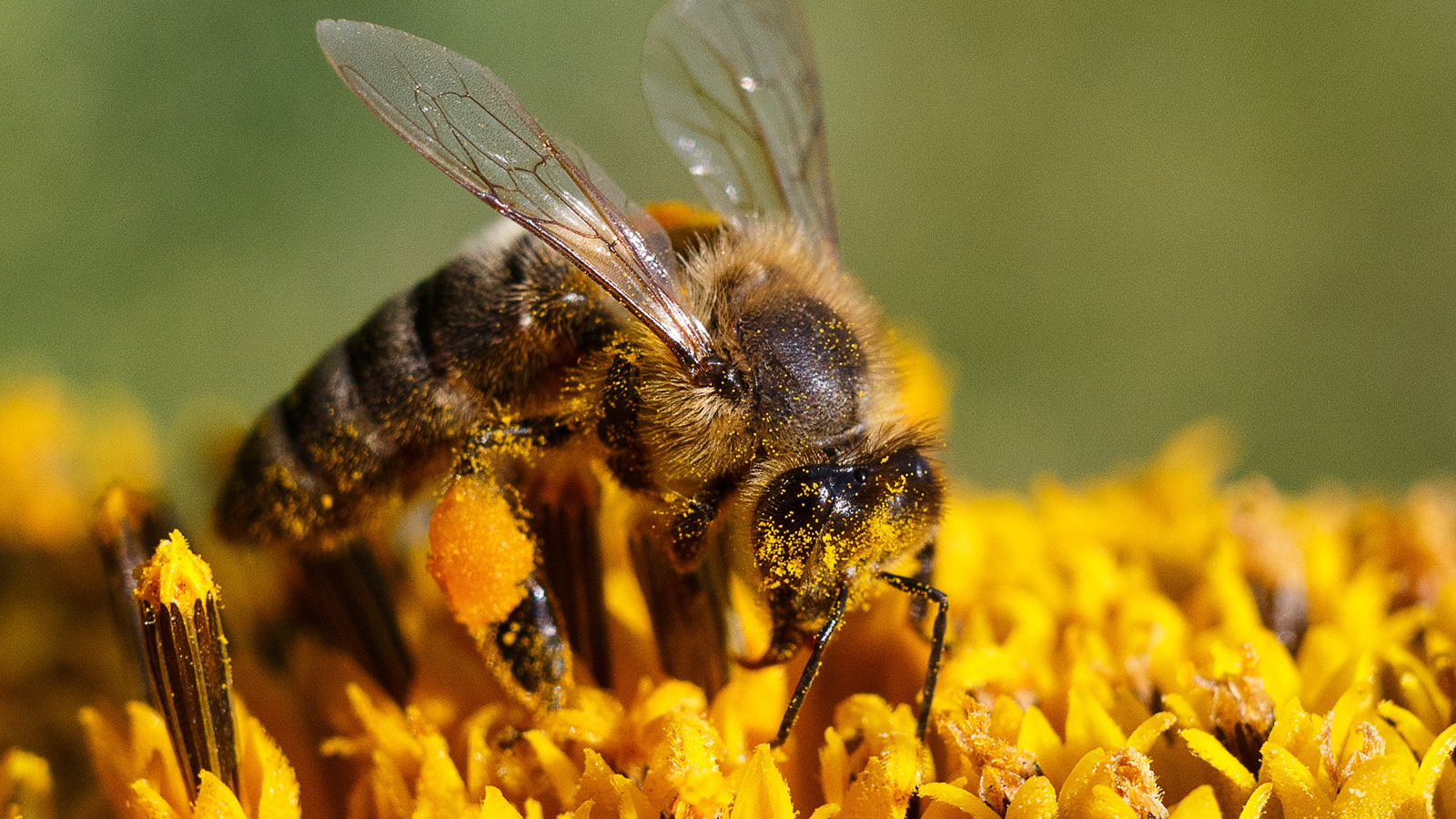 <h4>Neonics Get Into Pollen</h4><p>Neonics are sprayed on seeds. Unlike other pesticides, which remain on the surface of the plant, neonics are transported to all the tissues of the plant, including the pollen and nectar—which, of course, is bad news for bees and other pollinators.</p>